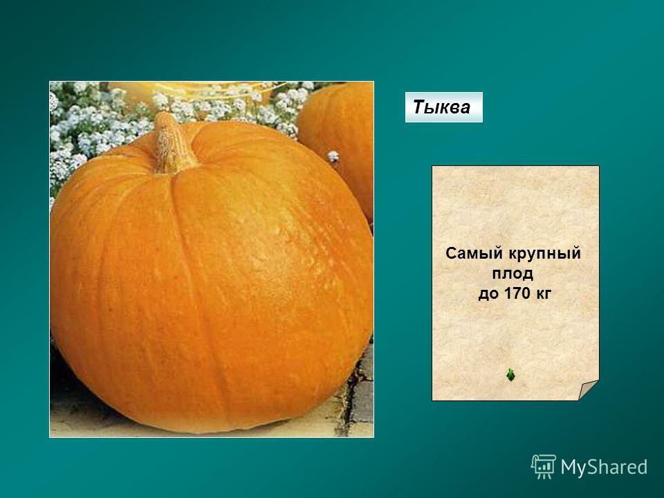 Тыква Самый крупный плод до 170 кг