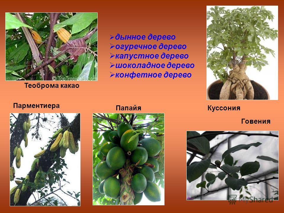 дынное дерево огуречное дерево капустное дерево шоколадное дерево конфетное дерево Папайя Парментиера Теоброма какао Говения Куссония