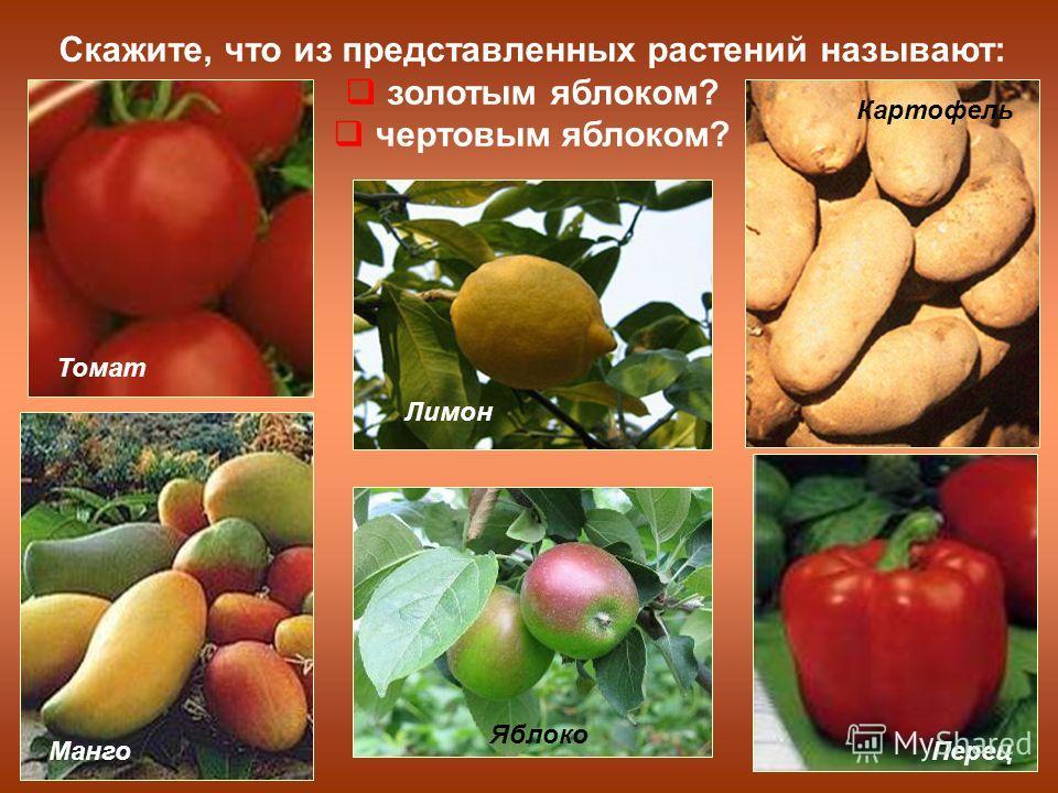 Скажите, что из представленных растений называют: золотым яблоком? чертовым яблоком? Томат Картофель МангоПерец Яблоко Лимон