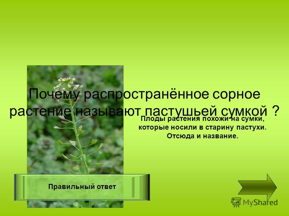 Правильный ответ Плоды растения похожи на сумки, которые носили в старину пастухи. Отсюда и название. Почему распространённое сорное растение называют пастушьей сумкой ?