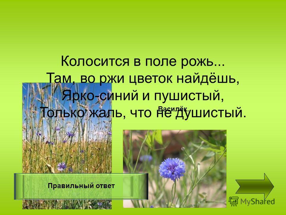 Колосится в поле рожь... Там, во ржи цветок найдёшь, Ярко-синий и пушистый, Только жаль, что не душистый. Правильный ответ Василёк.