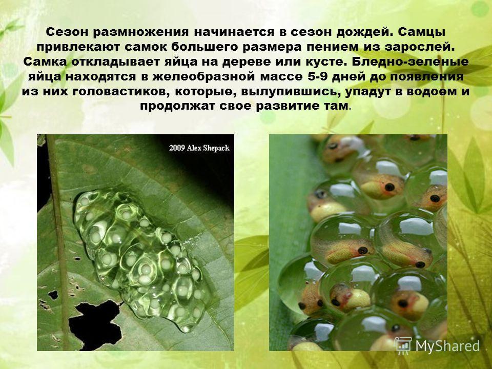 Сезон размножения начинается в сезон дождей. Самцы привлекают самок большего размера пением из зарослей. Самка откладывает яйца на дереве или кусте. Бледно-зеленые яйца находятся в желеобразной массе 5-9 дней до появления из них головастиков, которые
