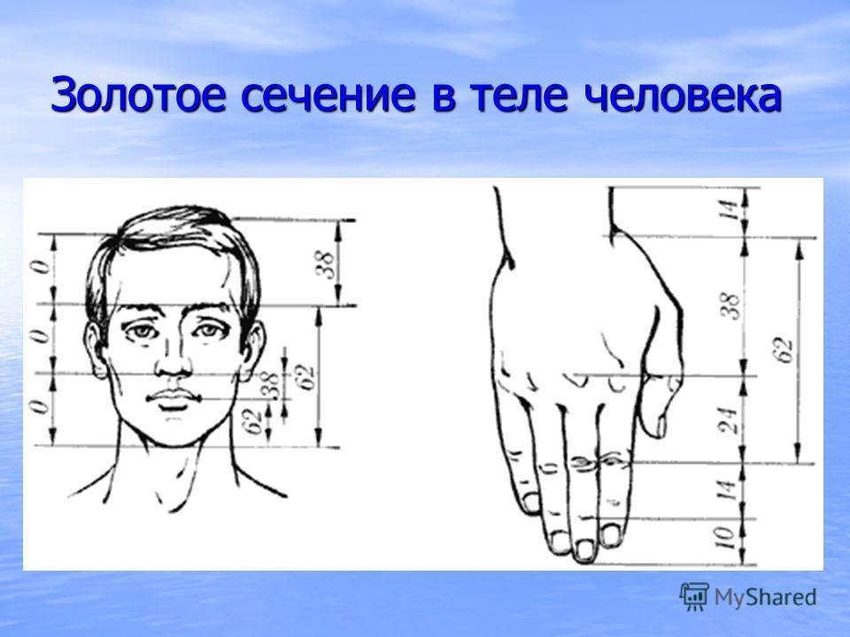 Золотое сечение в теле человека