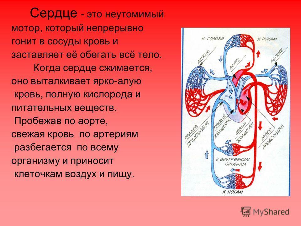 Сердце - это неутомимый мотор, который непрерывно гонит в сосуды кровь и заставляет её обегать всё тело. Когда сердце сжимается, оно выталкивает ярко-алую кровь, полную кислорода и питательных веществ. Пробежав по аорте, свежая кровь по артериям разб
