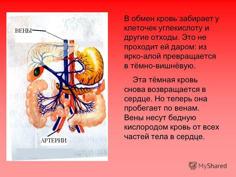 В обмен кровь забирает у клеточек углекислоту и другие отходы. Это не проходит ей даром: из ярко-алой превращается в тёмно-вишнёвую. Эта тёмная кровь снова возвращается в сердце. Но теперь она пробегает по венам. Вены несут бедную кислородом кровь от