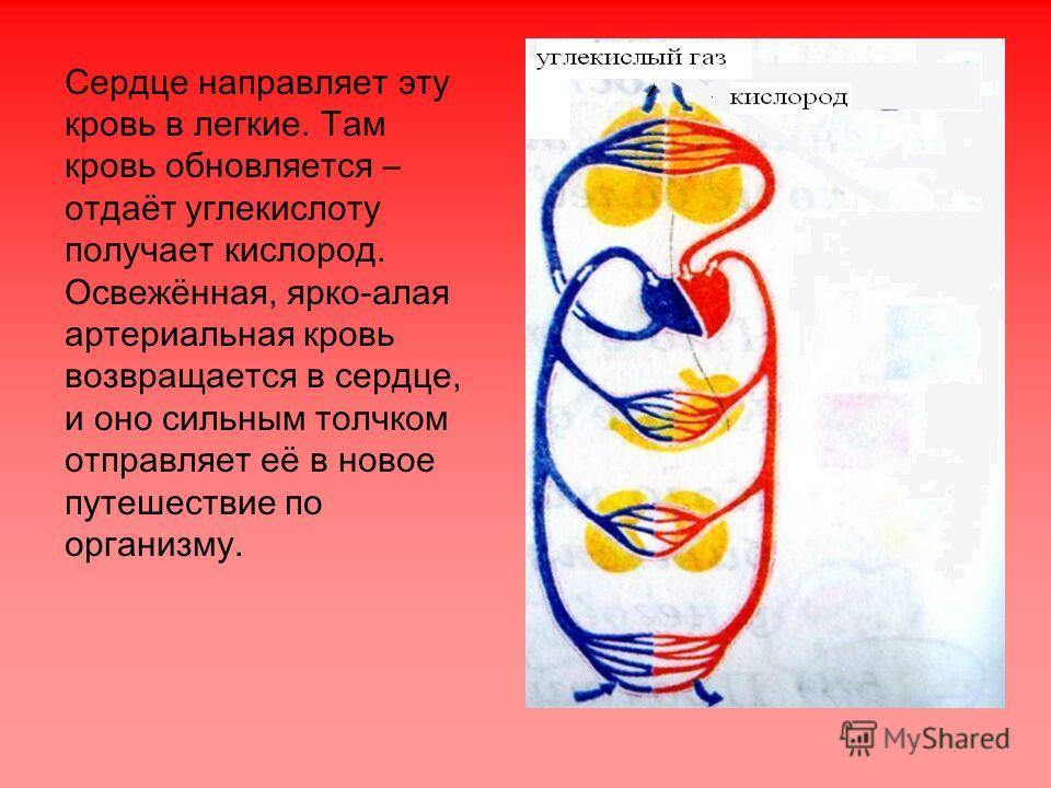 Сердце направляет эту кровь в легкие. Там кровь обновляется – отдаёт углекислоту получает кислород. Освежённая, ярко-алая артериальная кровь возвращается в сердце, и оно сильным толчком отправляет её в новое путешествие по организму.