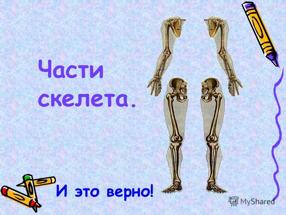 Части скелета. И это верно!