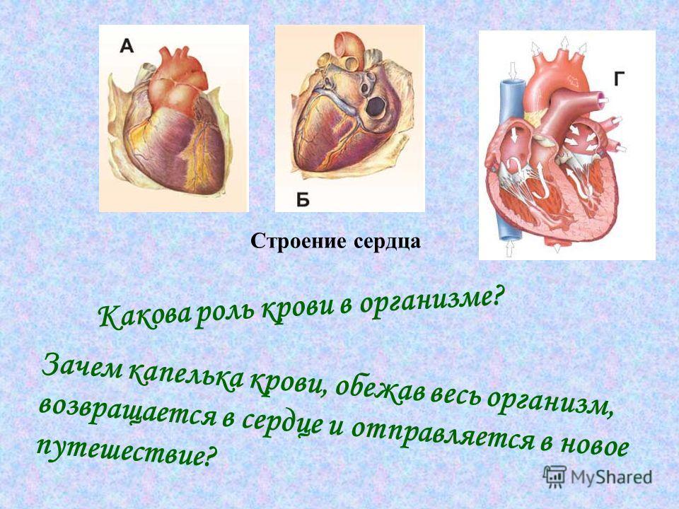 Какова роль крови в организме? Зачем капелька крови, обежав весь организм, возвращается в сердце и отправляется в новое путешествие? Строение сердца