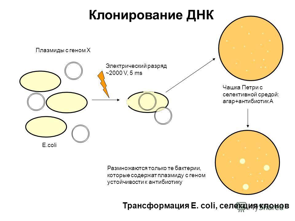 Клонирование ДНК Трансформация E. coli, селекция клонов Плазмиды с геном Х E.coli Электрический разряд ~2000 V, 5 ms Чашка Петри с селективной средой: агар+антибиотик А Размножаются только те бактерии, которые содержат плазмиду с геном устойчивости к