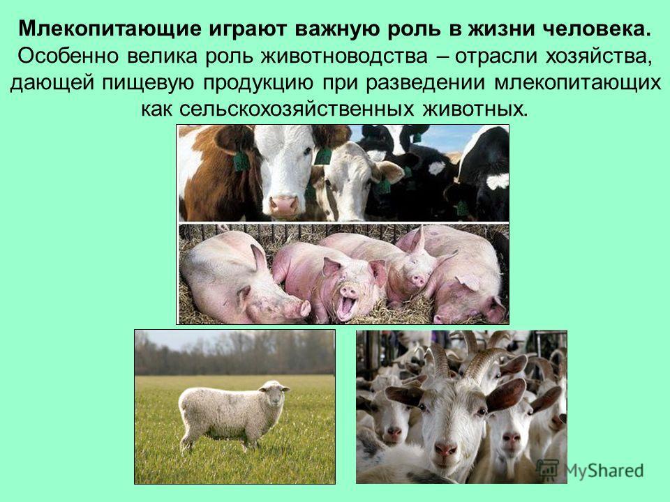 Млекопитающие играют важную роль в жизни человека. Особенно велика роль животноводства – отрасли хозяйства, дающей пищевую продукцию при разведении млекопитающих как сельскохозяйственных животных.