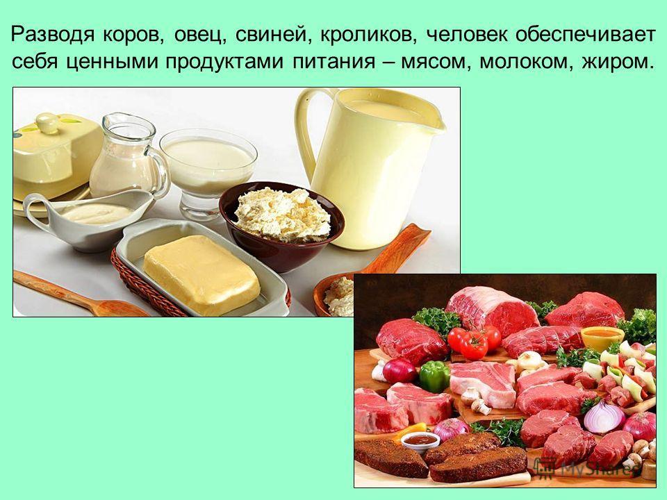 Разводя коров, овец, свиней, кроликов, человек обеспечивает себя ценными продуктами питания – мясом, молоком, жиром.