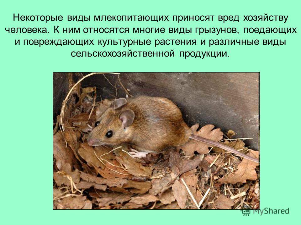 Некоторые виды млекопитающих приносят вред хозяйству человека. К ним относятся многие виды грызунов, поедающих и повреждающих культурные растения и различные виды сельскохозяйственной продукции.