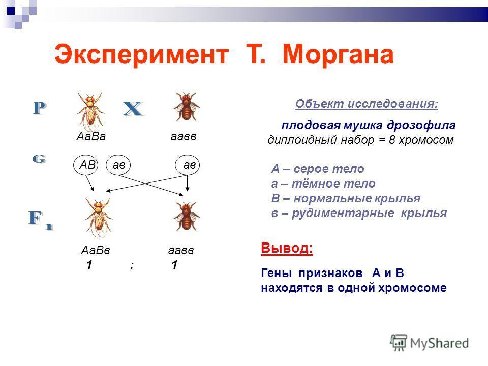 Эксперимент Т. Моргана Объект исследования: плодовая мушка дрозофила диплоидный набор = 8 хромосом А – серое тело а – тёмное тело В – нормальные крылья в – рудиментарные крылья Вывод: Гены признаков А и В находятся в одной хромосоме АаВа аавв АВ ав а