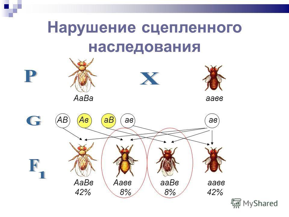 АаВа аавв АВ Ав аВ ав ав АаВв Аавв ааВв аавв 42% 8% 8% 42% Нарушение сцепленного наследования