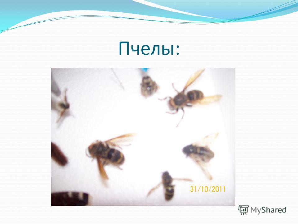 Пчелы: