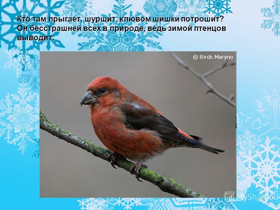 Кто там прыгает, шуршит, клювом шишки потрошит? Он бесстрашней всех в природе, ведь зимой птенцов выводит.