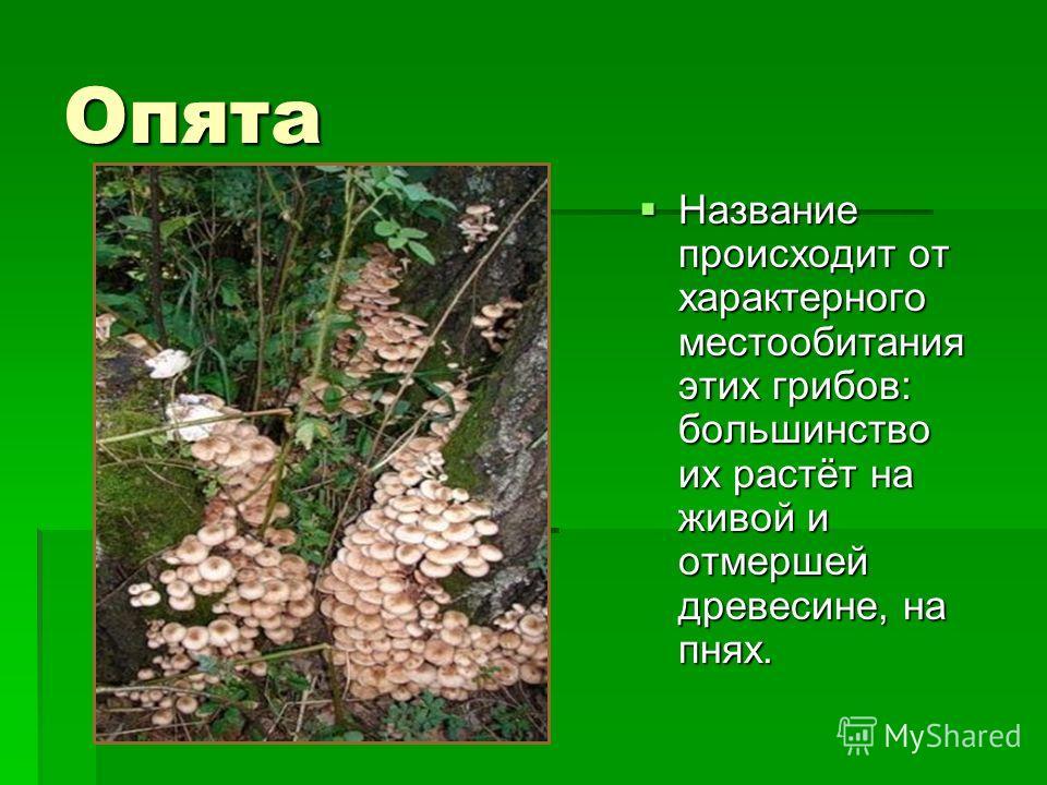Опята Название происходит от характерного местообитания этих грибов: большинство их растёт на живой и отмершей древесине, на пнях. Название происходит от характерного местообитания этих грибов: большинство их растёт на живой и отмершей древесине, на