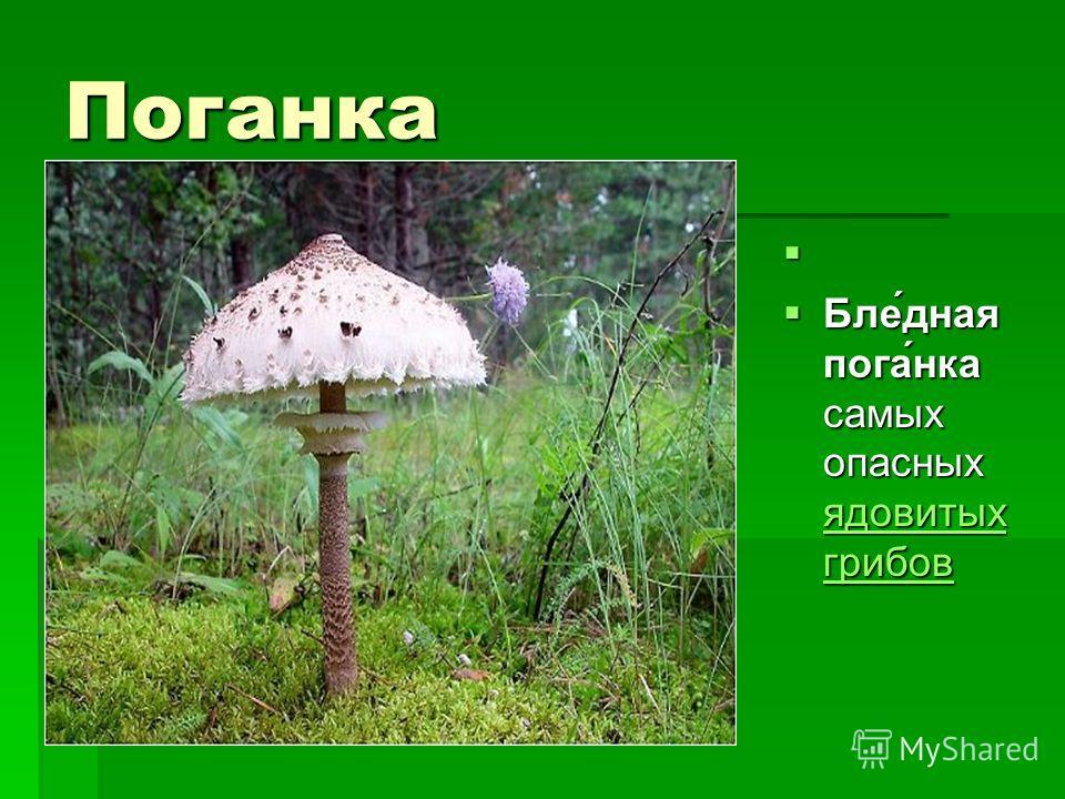 Поганка Бле́дная пога́нка самых опасных ядовитых грибов Бле́дная пога́нка самых опасных ядовитых грибов ядовитых грибов ядовитых грибов