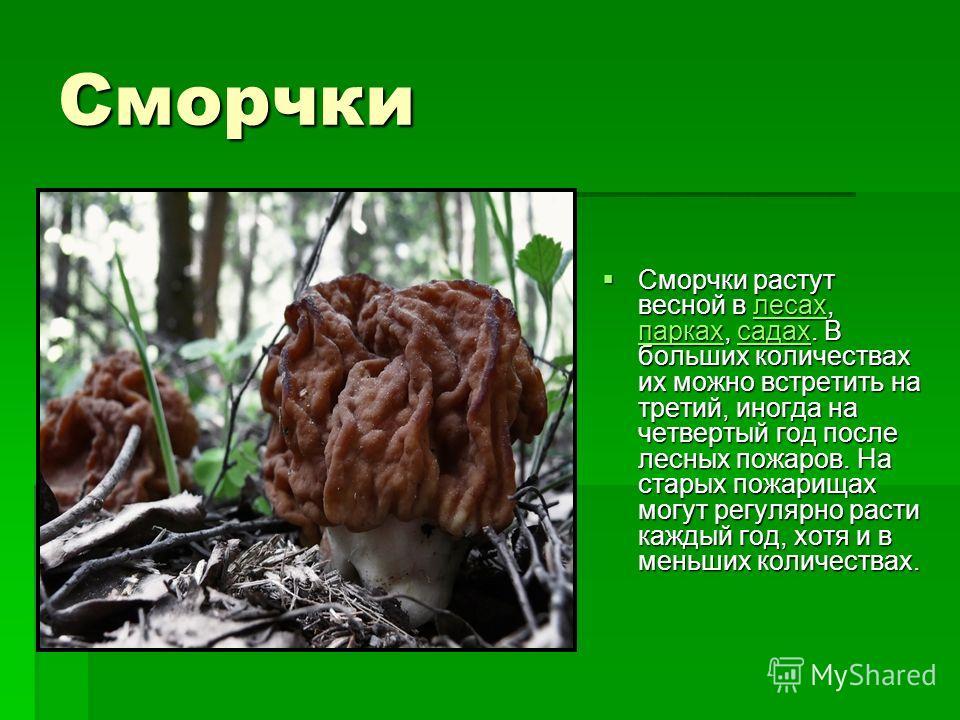 Сморчки Сморчки растут весной в лесах, парках, садах. В больших количествах их можно встретить на третий, иногда на четвертый год после лесных пожаров. На старых пожарищах могут регулярно расти каждый год, хотя и в меньших количествах. Сморчки растут