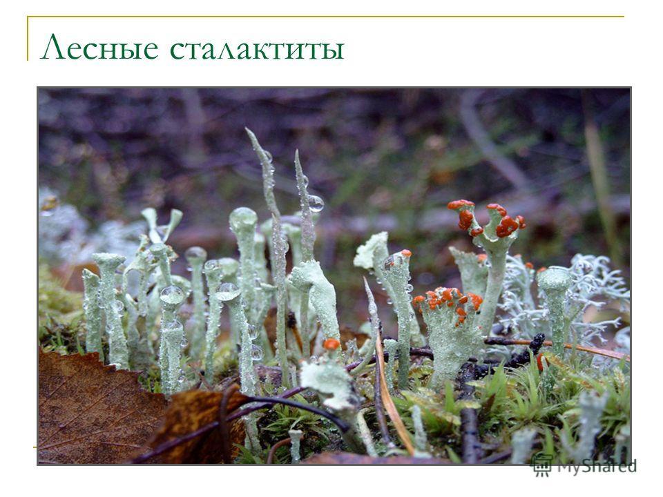 Лесные сталактиты