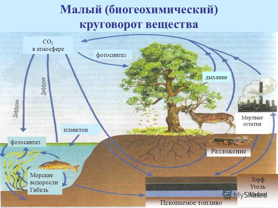 Малый (биогеохимический) круговорот вещества Ископаемое топливо Торф Уголь Нефть Разложение Мертвые остатки Морские водоросли Гибель фотосинтез планктон фотосинтез дыхание СО 2 в атмосфере