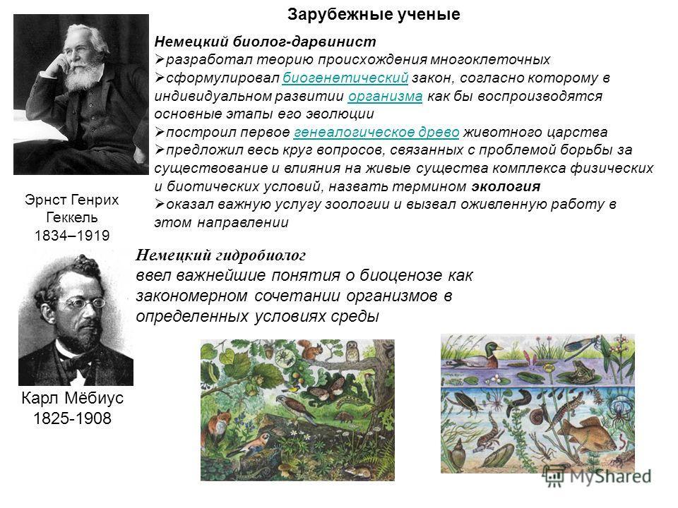 Эрнст Генрих Геккель 1834–1919 Немецкий биолог-дарвинист разработал теорию происхождения многоклеточных сформулировал биогенетический закон, согласно которому в индивидуальном развитии организма как бы воспроизводятся основные этапы его эволюциибиоге