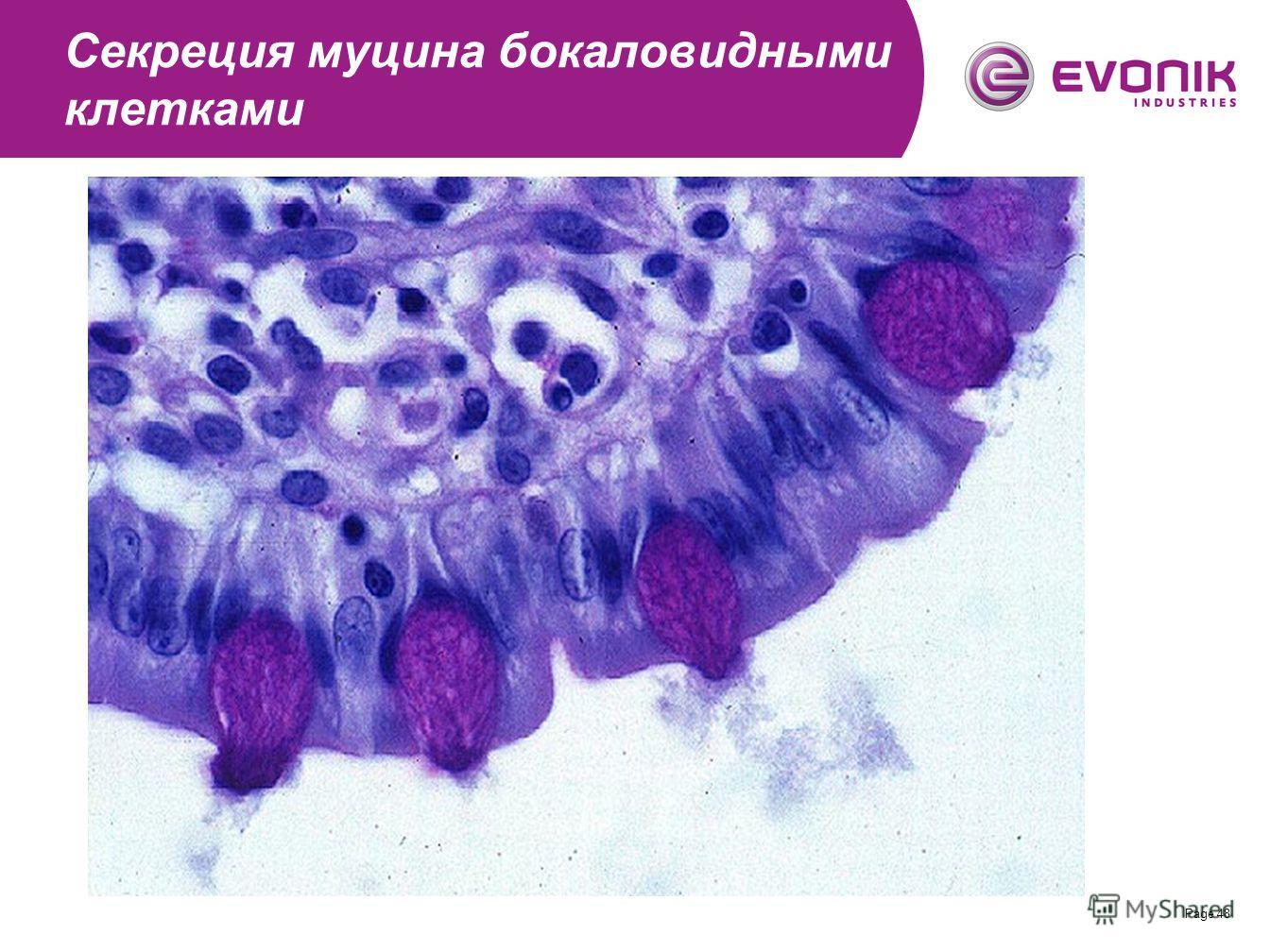 Page 48 Секреция муцина бокаловидными клетками