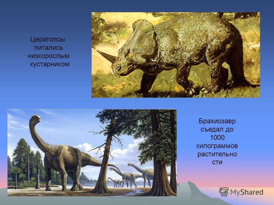 Д Цератопсы питались низкорослым кустарником Брахиозавр съедал до 1000 килограммов растительно сти