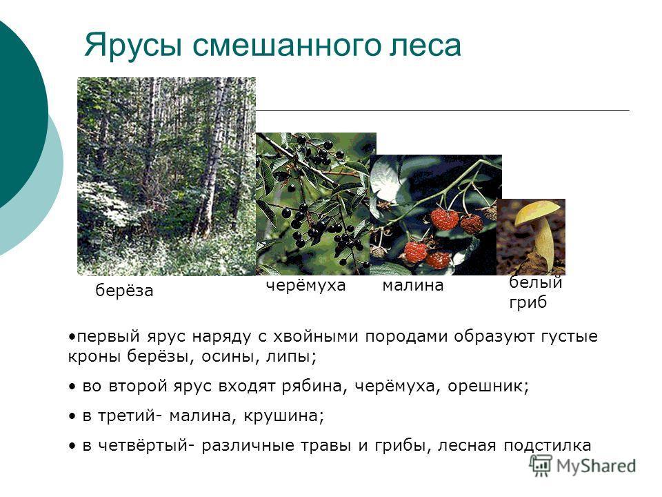 Ярусы смешанного леса черёмуха берёза первый ярус наряду с хвойными породами образуют густые кроны берёзы, осины, липы; во второй ярус входят рябина, черёмуха, орешник; в третий- малина, крушина; в четвёртый- различные травы и грибы, лесная подстилка