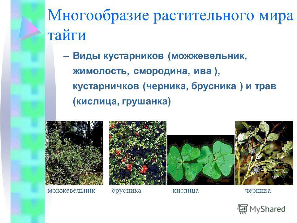 Многообразие растительного мира тайги –Виды кустарников (можжевельник, жимолость, смородина, ива ), кустарничков (черника, брусника ) и трав (кислица, грушанка) можжевельникбрусника кислица черника