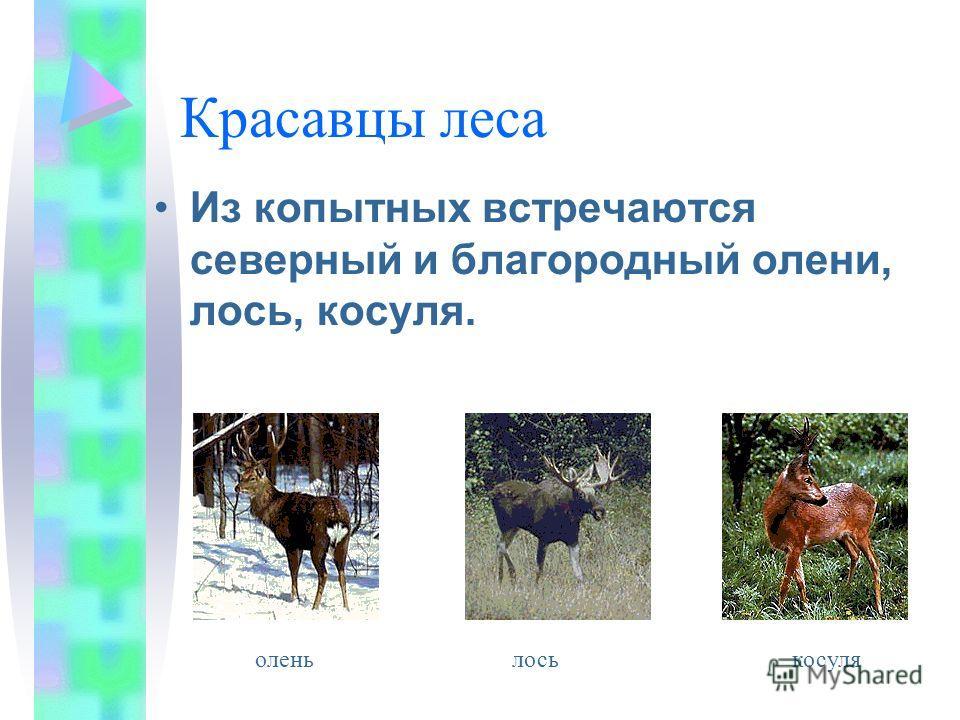 Красавцы леса Из копытных встречаются северный и благородный олени, лось, косуля. оленьлось косуля