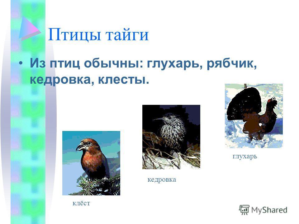 Птицы тайги Из птиц обычны: глухарь, рябчик, кедровка, клесты. глухарь кедровка клёст