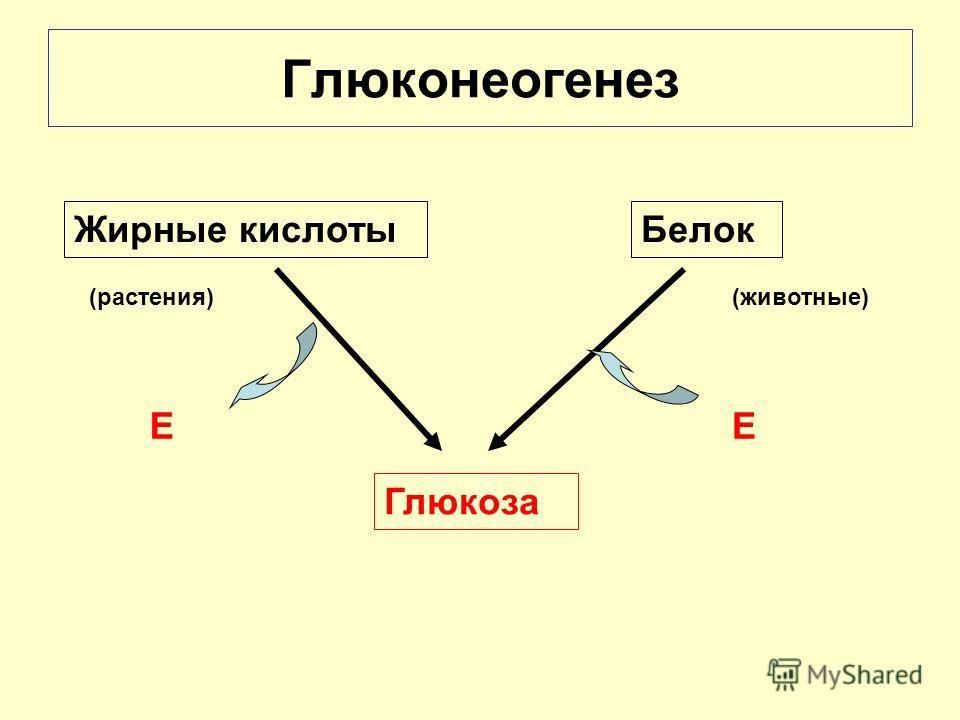 Жирные кислотыБелок Глюкоза Глюконеогенез ЕЕ (растения)(животные)