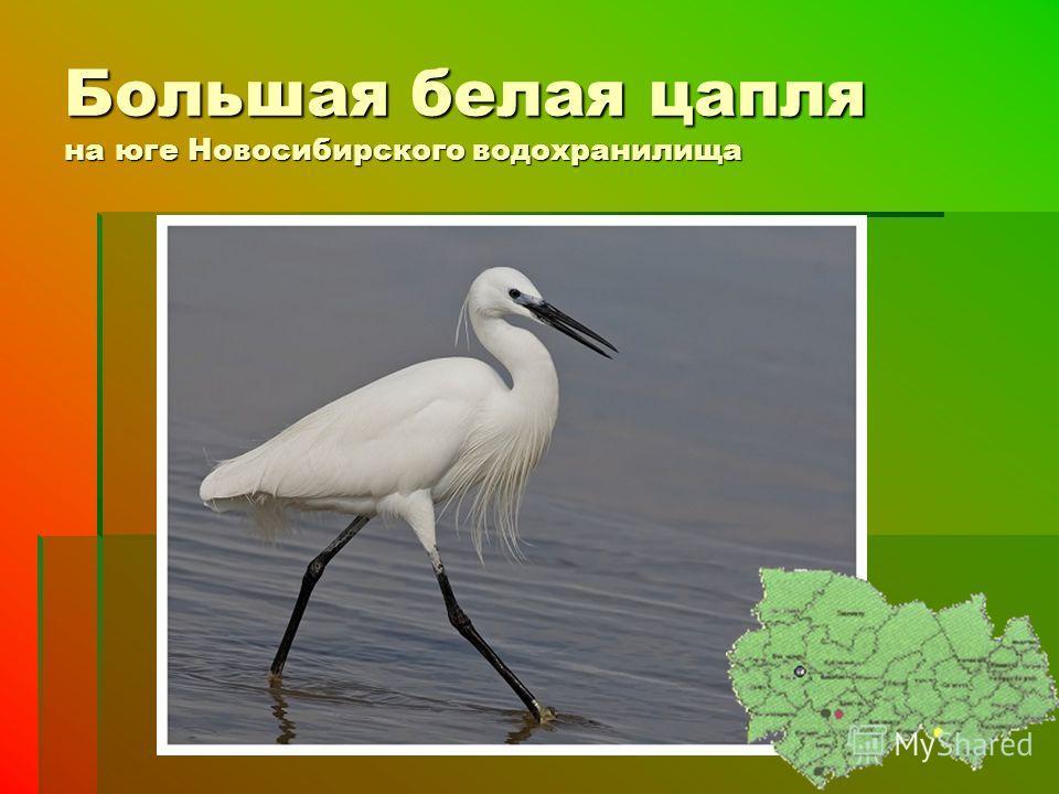 Большая белая цапля на юге Новосибирского водохранилища