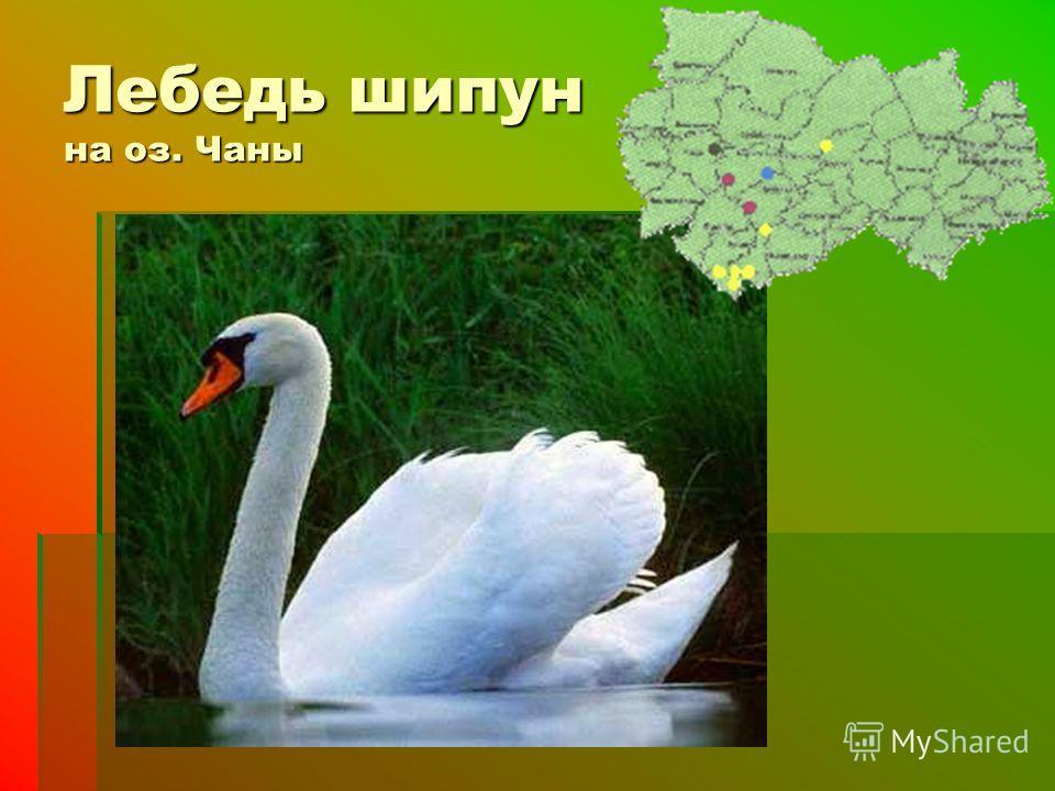 Лебедь шипун на оз. Чаны