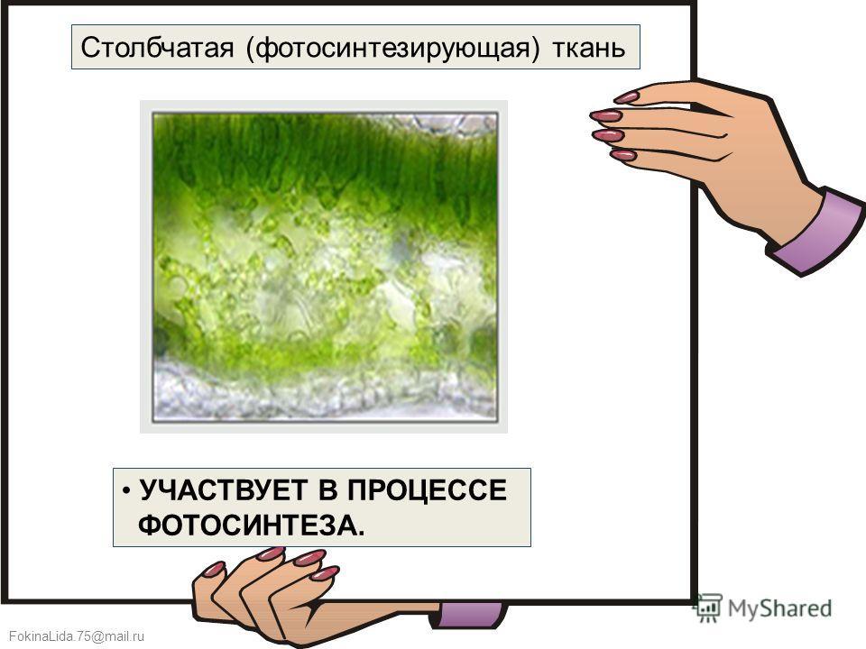 FokinaLida.75@mail.ru УЧАСТВУЕТ В ПРОЦЕССЕ ФОТОСИНТЕЗА. Столбчатая (фотосинтезирующая) ткань