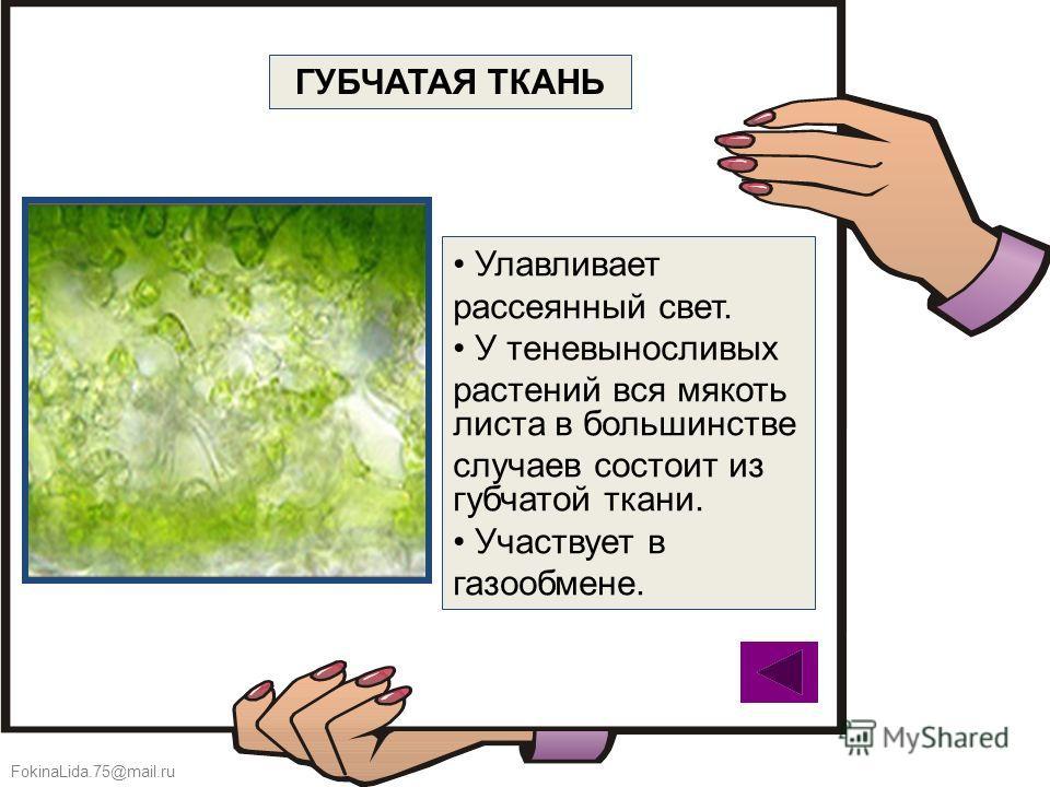FokinaLida.75@mail.ru Улавливает рассеянный свет. У теневыносливых растений вся мякоть листа в большинстве случаев состоит из губчатой ткани. Участвует в газообмене. ГУБЧАТАЯ ТКАНЬ