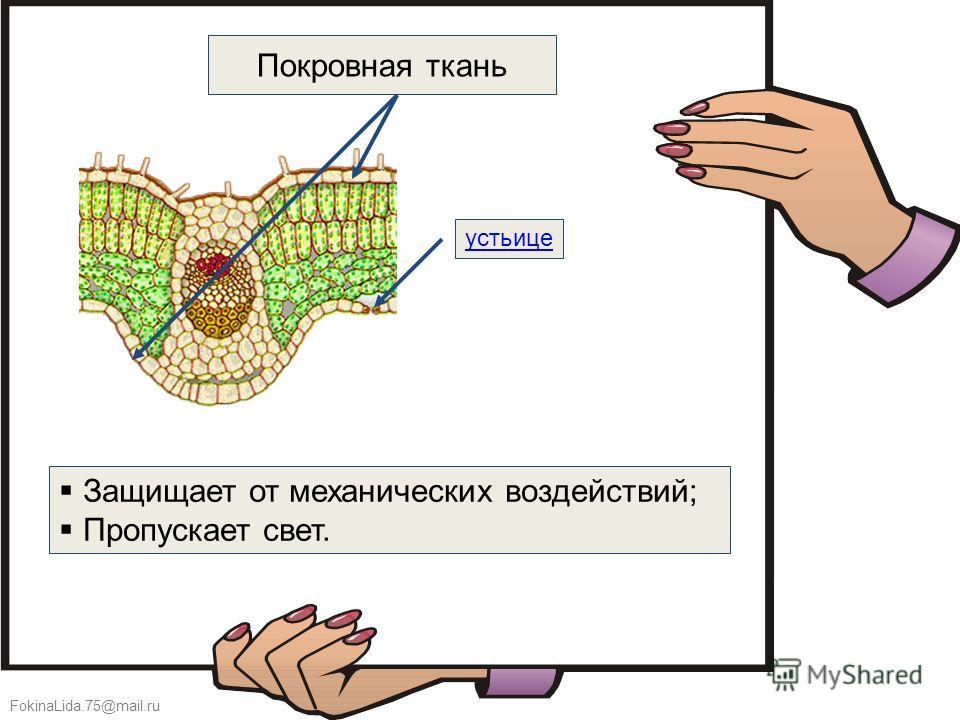 FokinaLida.75@mail.ru Покровная ткань устьице Защищает от механических воздействий; Пропускает свет.