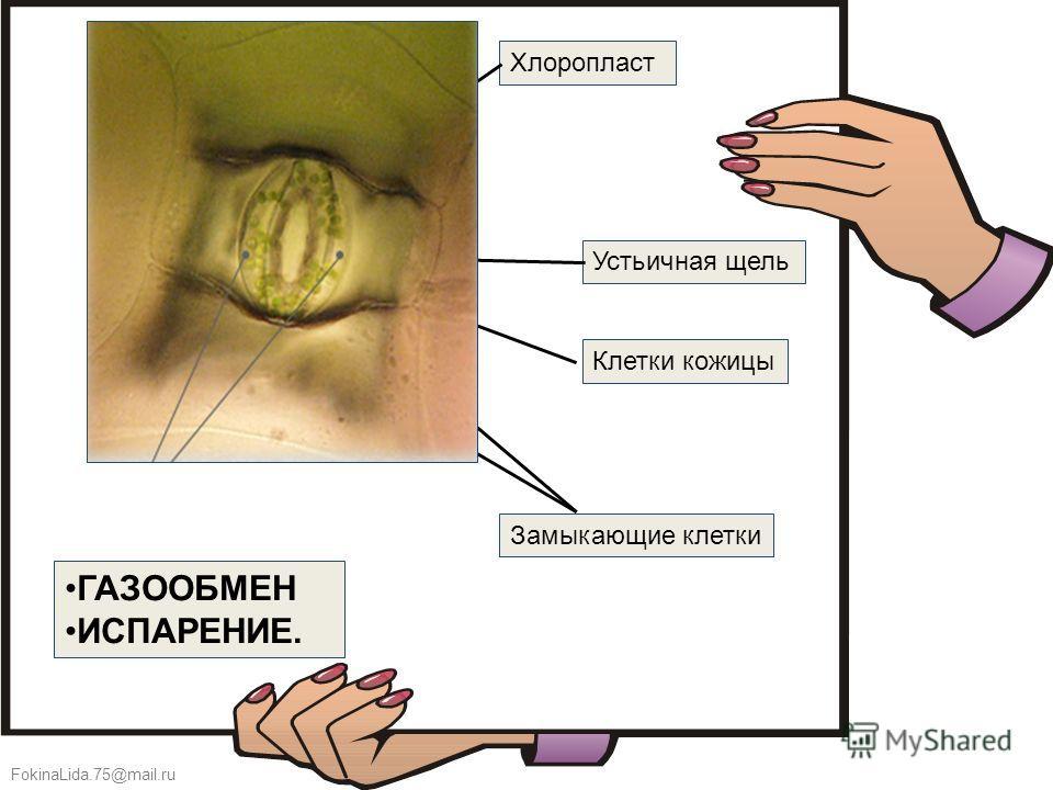 FokinaLida.75@mail.ru ГАЗООБМЕН ИСПАРЕНИЕ. Замыкающие клетки Устьичная щель Хлоропласт Клетки кожицы