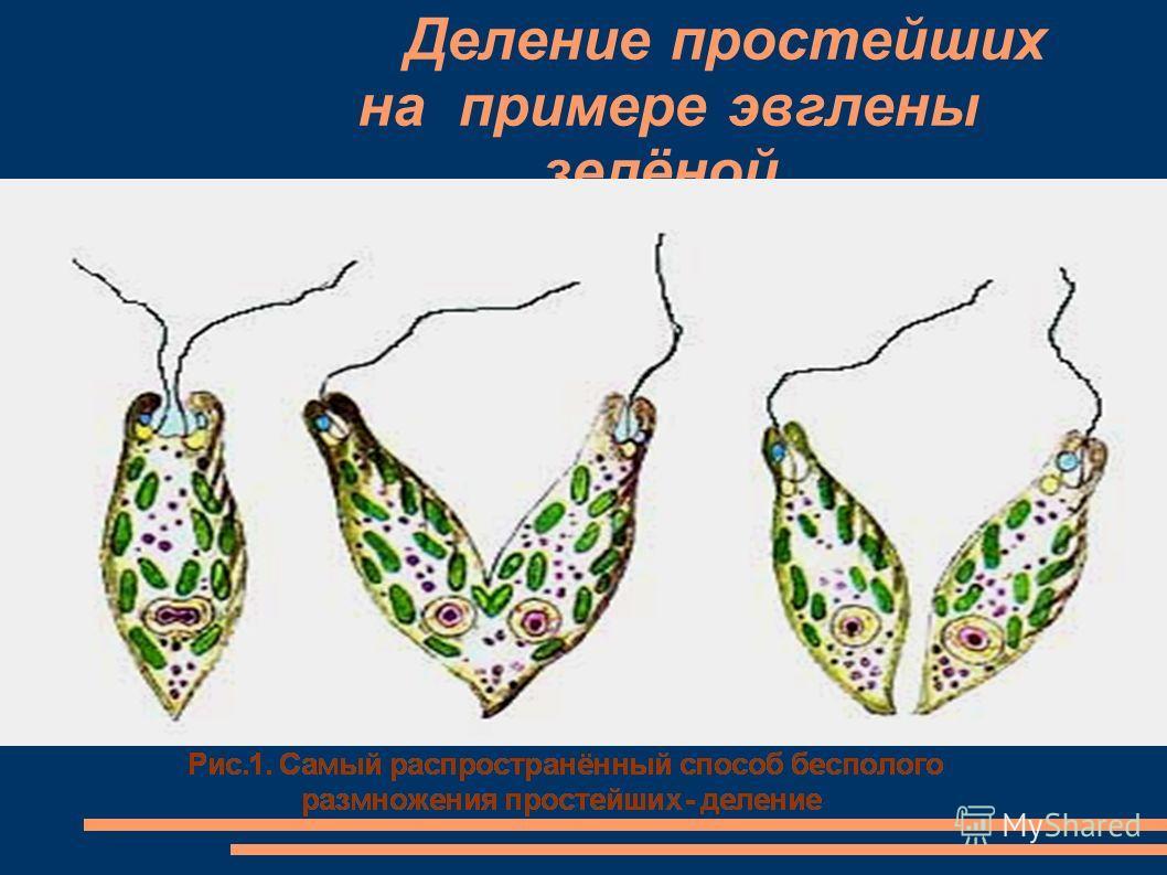Формы бесполого размножения Деление Почкование Спорообра- зование Вегетативное размножение 1.бактерии,простейшие,однокле точные водоросли 2.родительское тело делится на две одинаковые части 1. одноклеточные грибы- дрожжи; гидры; растения (каланхое) 2