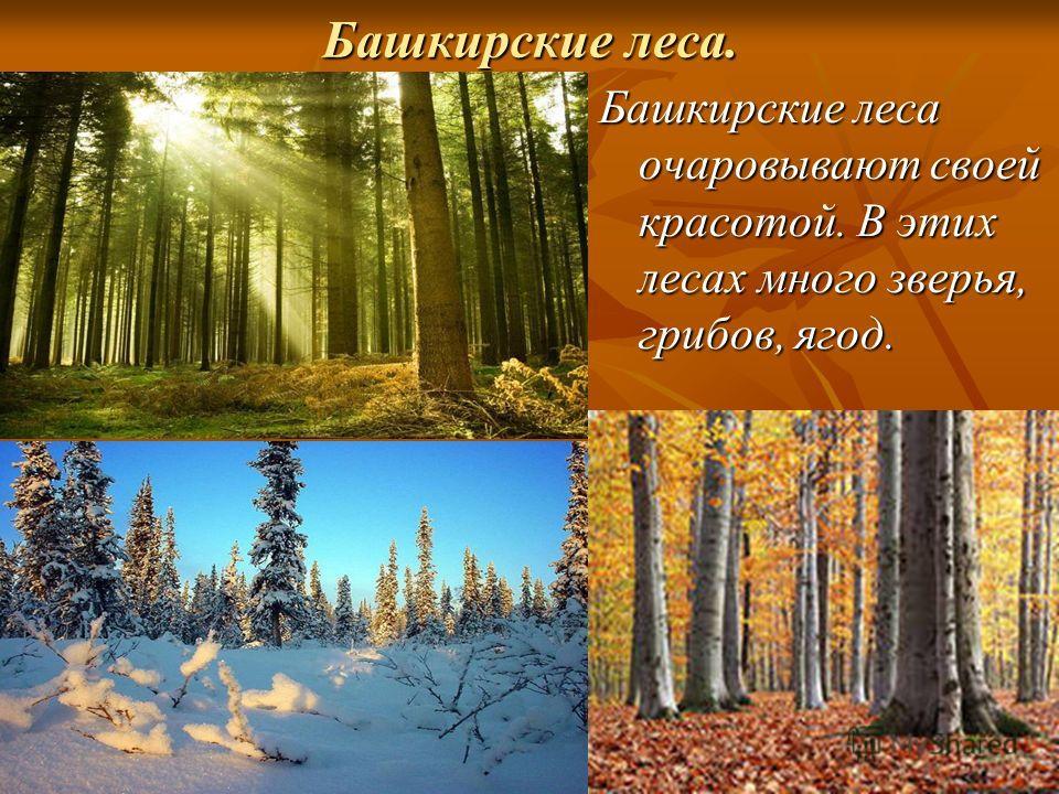 Башкирские леса. Башкирские леса очаровывают своей красотой. В этих лесах много зверья, грибов, ягод.
