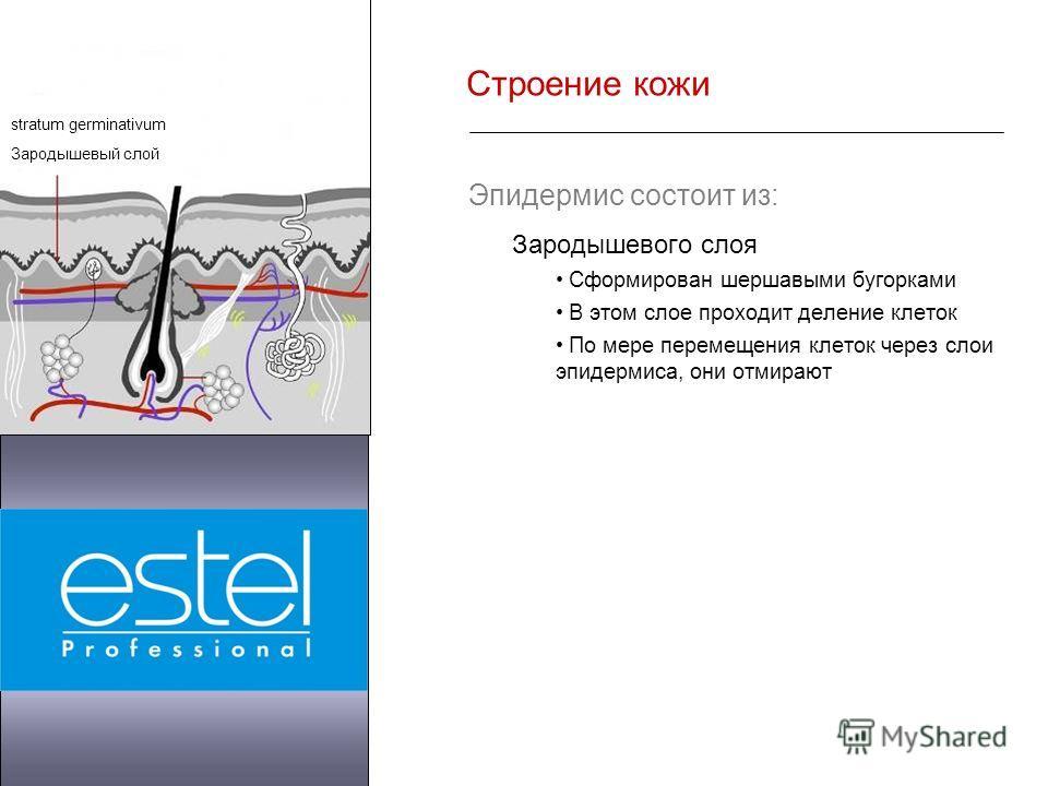 Строение кожи Эпидермис состоит из: Зародышевого слоя Сформирован шершавыми бугорками В этом слое проходит деление клеток По мере перемещения клеток через слои эпидермиса, они отмирают stratum germinativum Зародышевый слой