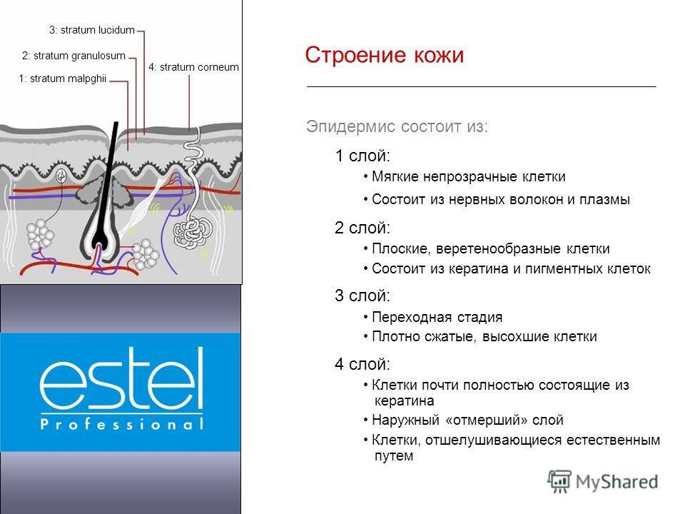 Строение кожи Эпидермис состоит из: 1 слой: Мягкие непрозрачные клетки Состоит из нервных волокон и плазмы 2 слой: Плоские, веретенообразные клетки Состоит из кератина и пигментных клеток 3 слой: Переходная стадия Плотно сжатые, высохшие клетки 4 сло