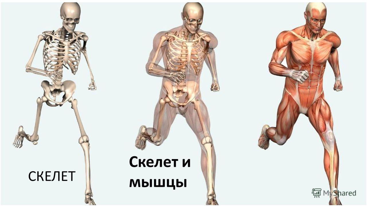 СКЕЛЕТ Скелет и мышцы