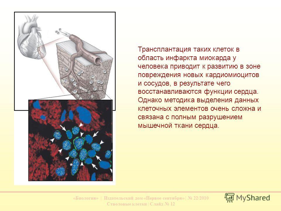«Биология» | Издательский дом «Первое сентября» | 22/2010 Стволовые клетки | Слайд 12 Трансплантация таких клеток в область инфаркта миокарда у человека приводит к развитию в зоне повреждения новых кардиомиоцитов и сосудов, в результате чего восстана