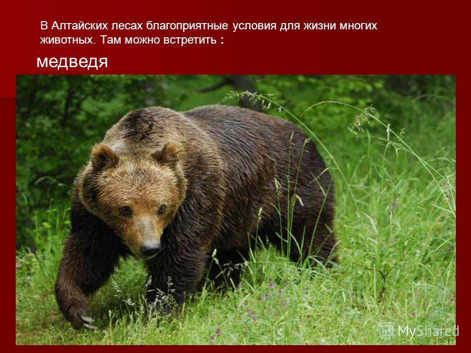 В Алтайских лесах благоприятные условия для жизни многих животных. Там можно встретить : медведя