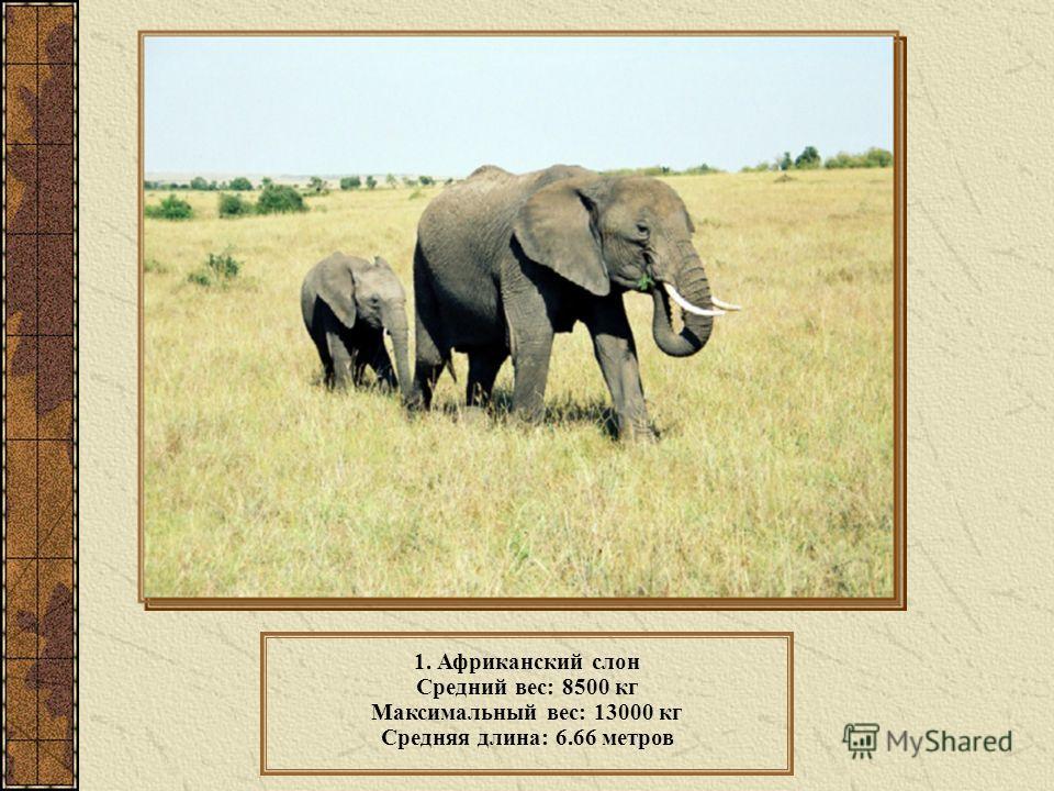 1. Африканский слон Средний вес: 8500 кг Максимальный вес: 13000 кг Средняя длина: 6.66 метров