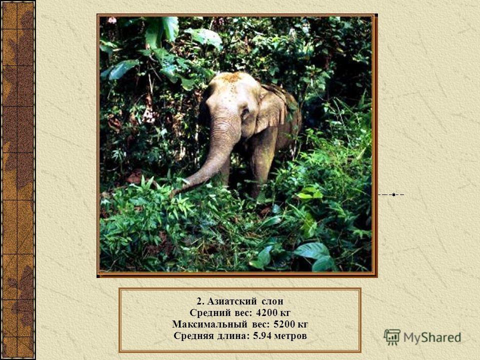 2. Азиатский слон Средний вес: 4200 кг Максимальный вес: 5200 кг Средняя длина: 5.94 метров