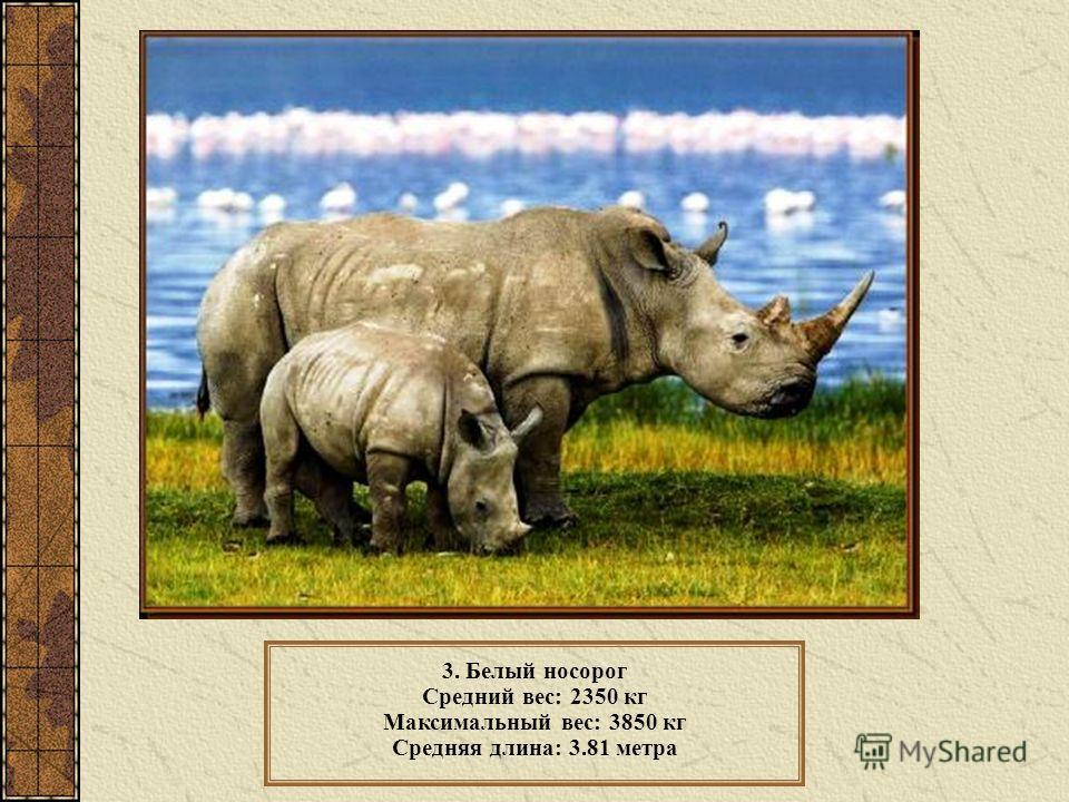 3. Белый носорог Средний вес: 2350 кг Максимальный вес: 3850 кг Средняя длина: 3.81 метра