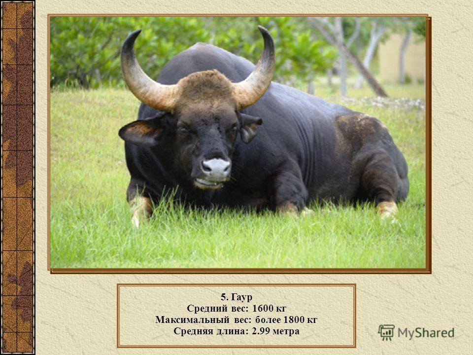 5. Гаур Средний вес: 1600 кг Максимальный вес: более 1800 кг Средняя длина: 2.99 метра